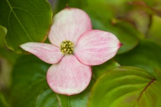 Dogwoods_(Set_One)-4