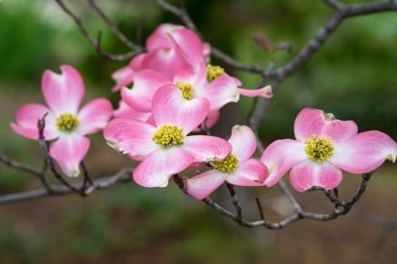 Pink & White Dogwood, 4.5.13