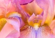 Two Iris, 11.29.16