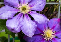 Purple Clematis on a Fence, 5.11.17