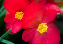 Red & Yellow Begonia, 10.23.17