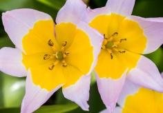 Tulipa saxatilis, 3.12.18