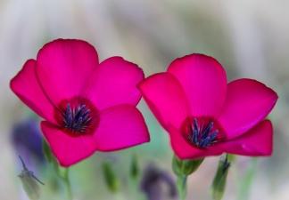 Linum grandiflora, 5.8.12