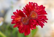 Red Gerbera Duo, 5.3.17