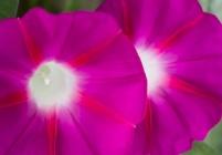 Bright Pink Morning Glories, 9.20.17