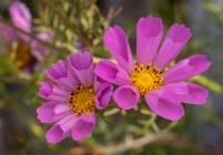 Pink Cosmos bipinnatus, 9.26.18