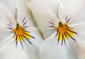 White Pansies with Purple & Yellow, 6.12.14
