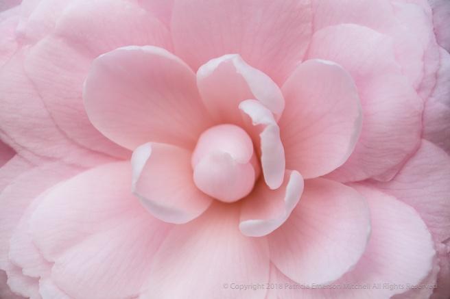 Light_Pink_Camellia_(II),_1.11.18.jpg