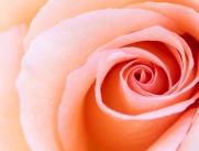 Pale Peach Rose, 5.1.18