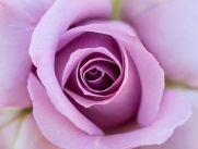 Lavender Rose, 5.10.18