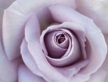 Pale Lavender Rose, 5.17.18