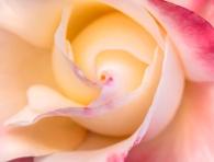 Crescendo Rose (I), 10.29.18