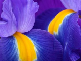 Vivid Iris, 4.9.18
