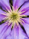 Purple Clematis (II), 5.11.17