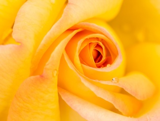 Yellow Rose with Water Drops, 4.17.17