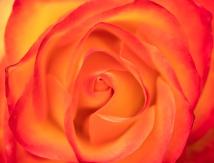 Orange & Yellow Rose, 5.25.18