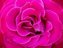 Pink Rose, White Edges, 6.1.18