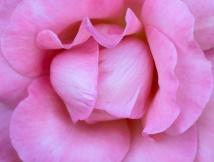Pink Rose, 6.7.18