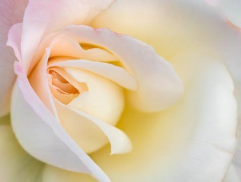 Pristine Rose (I), 10.29.18