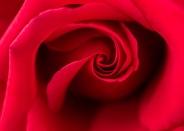 Red Rose, 4.10.17