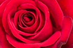 Red Rose, 4.19.17