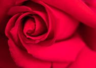 Red Rose, 4.30.18