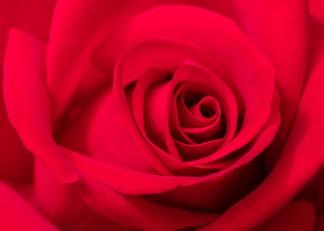 Red Rose, 5.15.18