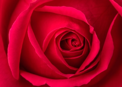 Red Rose, 12.22.16