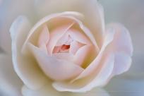 A Pastel Rose, 3.3.15