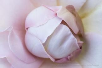A Rose at The Kirk-Farrington House, 7.14.17