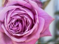 Aging_Pink_Rose