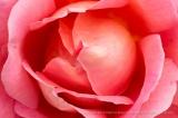 Audrey_Wilcox_Rose,_5.9.16