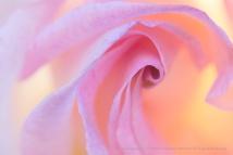 Backlit Rose (I), 11.13.17
