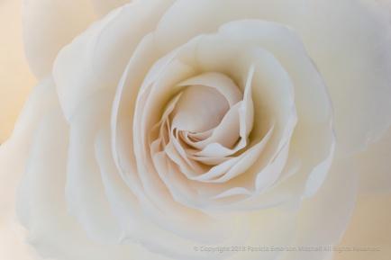 Backlit White Rose, 3.9.17