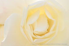 Backlit White Rose, 4.18.16