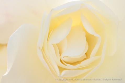 Backlit White Rose, 4.18.16