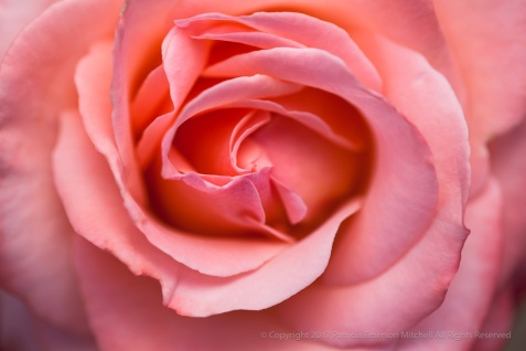 Bill Warrianer Rose, 4.13.15