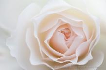 Blushing_Rose,_1.9.15