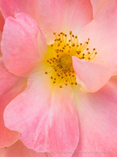 Blushing Rose, 5.8.17