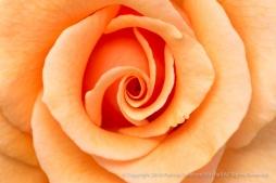 Brandy_Rose_(II),_6.6.16