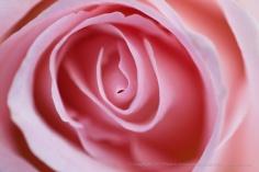 Bride's Dream Rose, 4.13.15