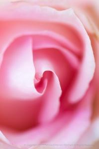Bride's Dream Rose (II), 4.13.15