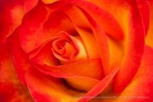 Bright_Orange_&_Yellow_Rose,_3.23.15