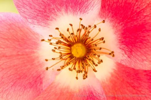 Bright Pink Rose, 9.9.16