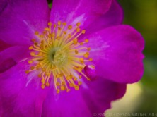 Bright_Pink_Rose_with_Yellow_on_Green