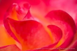 Bright_Rose,_1.16.15