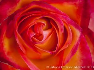 Bright_Rose,_11.9.13