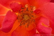 Bright_Rose,_4.8.14
