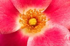 Bright Rose, 9.9.16