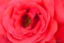 Bright Salmon Rose, 10.14.15